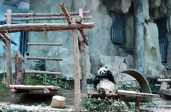 panda at chiang mai zoo