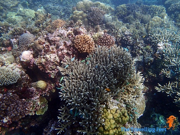 live corals in moalboal