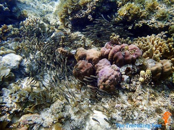 marine life in moalboal
