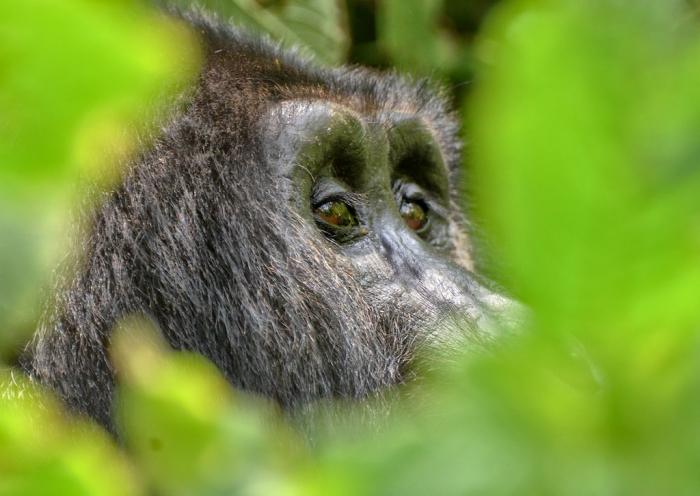 gorilla at Bwindi national park